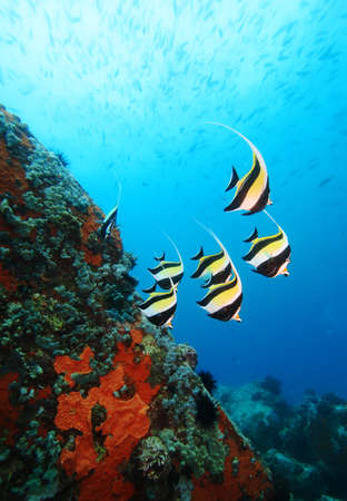School of Moorish Idols in the Indian Ocean