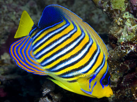 angelfish: Regal Angelfish in the Red Sea, Egypt Stock Photo