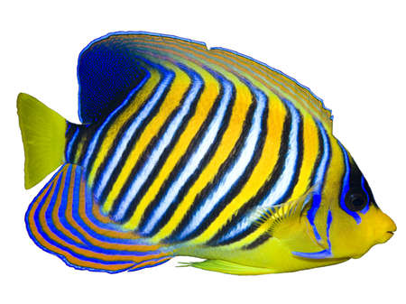 Regal Angelfish isolated on white Stock Photo - 10231726