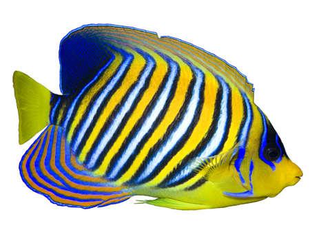 angelfish: Regal Angelfish isolated on white