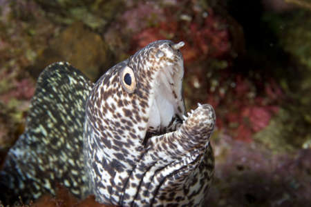 eel: Spotted Moray Eel close-up in the Caribbean Sea