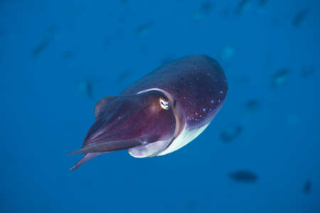 Close-up portrait of a Squid on a coral reef at Bali, Indonesia photo