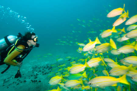 underwater diving: Diver swimming towards a school of yellow Snappers Stock Photo