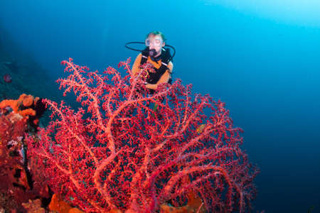 woman diving: Red corals with a female diver in the background, on a reef at Bali, Indonesia Stock Photo