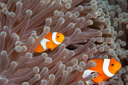 anemonefish: A pair of Anemonefish or Clownfish at Bali, Indonesia Stock Photo