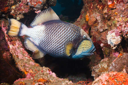 Titan Triggerfish eating coral on the Liberty Wreck in Tulamben, Bali, Indonesia photo