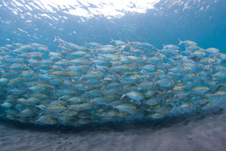 school of fish: Large school of Yellow-striped scad over dark sand of the Island of Bali, Indonesia