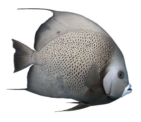 tropical fish isolated: Grey Angelfish Isolated with a white backgrount Stock Photo