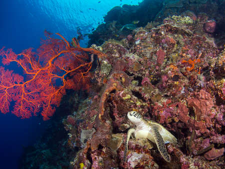 gorgonian: Turtle on a coral reef at Bunaken, Indonesia Stock Photo
