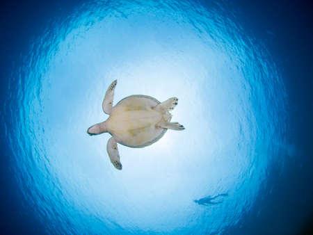 snorkling: Green turtle underwater, Bunaken, Indonesia