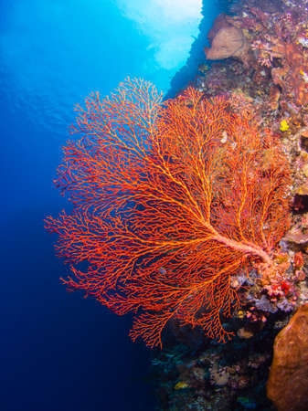 gorgonian: Giant gorgonian coral on a reef at Bunaken, Indonesia