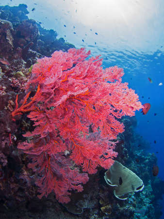 gorgonian: Giant coral on a reef at Bunaken, Indonesia Stock Photo