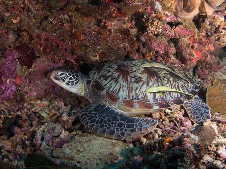 tortue verte: Tortue verte sur un r�cif de corail en Indon�sie, l'�le de Bunaken