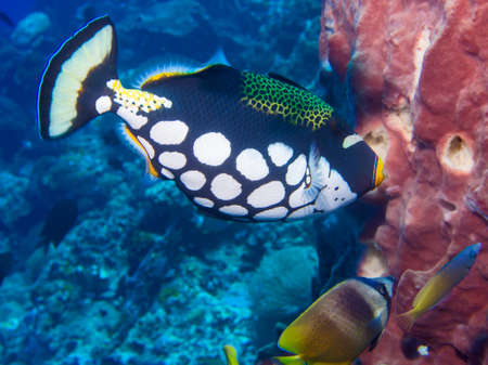 Clown Triggerfish , sponge and butterfly fish on a coral reef at Bunaken, Indonesia Stock Photo - 24062588