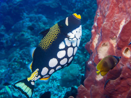 clown triggerfish: Clown Triggerfish , sponge and butterfly fish on a coral reef at Bunaken, Indonesia Stock Photo