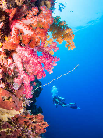 Soft corals with variying colors with a scuba diver in the background Stock Photo