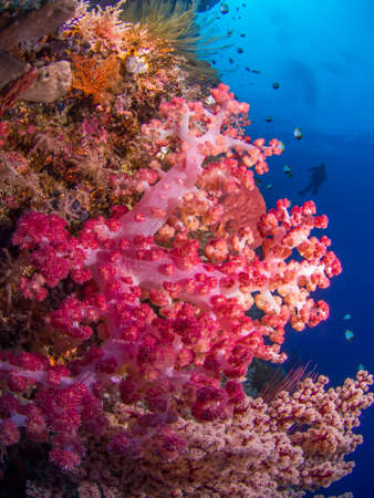 soft coral: Colorful soft coral at a reef at Bunaken, Indonesia