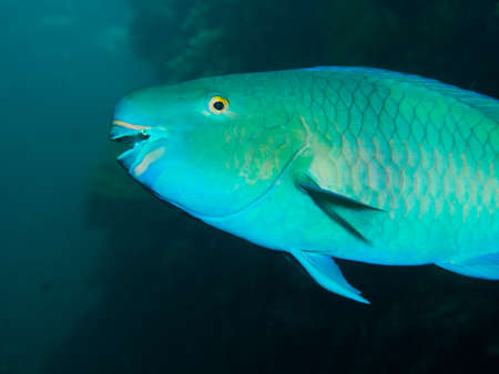 parrotfish: Close-up of a colorful Redlip Parrotfish at the Liberty shipwreck at Tulamben on Bali, Indonesia. Its Latin name is Scarus rubroviolaceus. Stock Photo