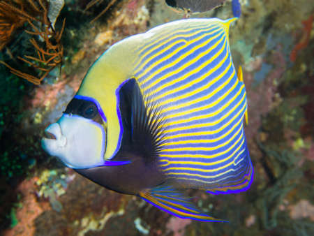 pomacanthus imperator: Close-up of a colorful Emperor Angelfish on a beautiful shipwreck at Tulamben on Bali, Indonesia. Its Latin name is Pomacanthus imperator.