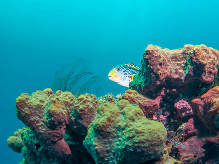 sweetlips: Yellowbanded Sweetlips on the Second World War USA Liberty Wreck in Tulamben  Bali Indonesia. The wreck is overgrown with corals and sponges and many species of fish live there. Stock Photo