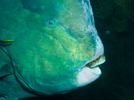 parrotfish: Bumphead Parrotfish on the Second World War USA Liberty Wreck in Tulamben  Bali Indonesia. The wreck is overgrown with corals and sponges and many species of fish live there.