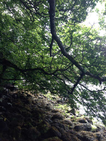 co cork: An overhanging branch at Loughine Co Cork Ireland