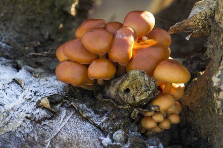 Close-up shot of a mushrooms growing on a frozen tree