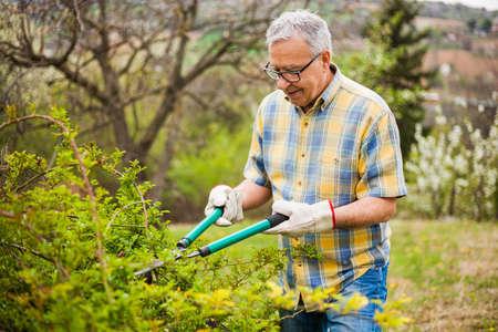 Senior man in his garden. He is pruning bushes.