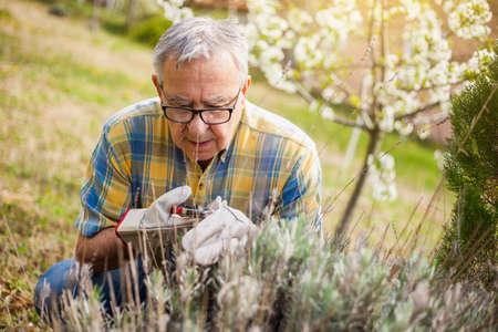 he: Senior man in his garden. He is pruning plants.