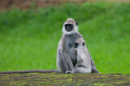 Tufted gray langur, Semnopithecus priam, Sri Lanka