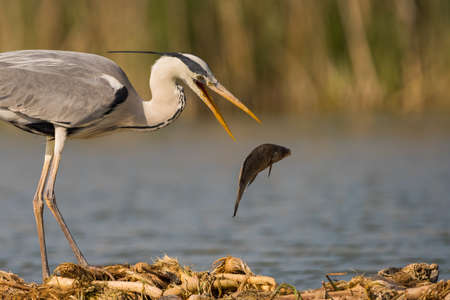 Grey heron is hunting fish in swamp. Bird behavior in natural habitat.