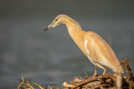Small yellow heron (Ardeola ralloides) in natural habitat