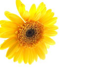 Isolated image of yellow daisy on white background