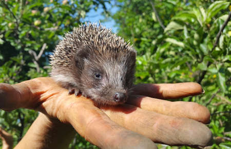 eye ball: Hedgehog in the hands. Little hedgehog on the palm of your hand