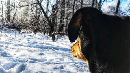 Dog looking in the distance in the winter.
