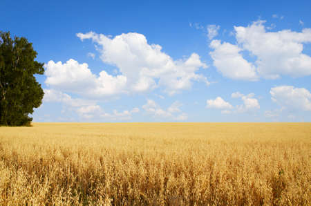 barley field: Field of oats and tree Stock Photo