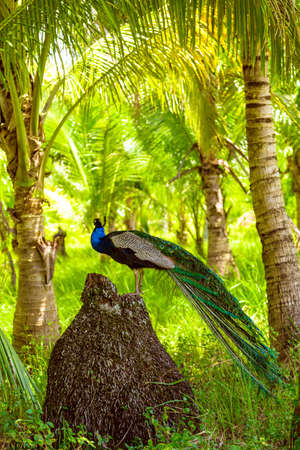 Peacock standing on the stone. Peacock in front of palm tree 版權商用圖片