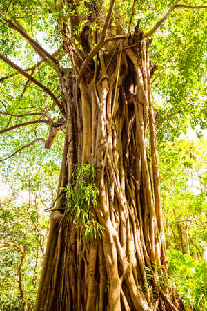 Big tree and roots in a green forest 版權商用圖片
