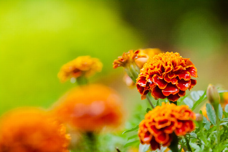 Marigold flower photo