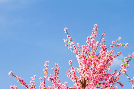 sakura blossoms of bright and clear skies in the background.