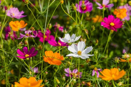 Cosmos bipinnatus meadows that nature has created a range of bright colours, appreciated.