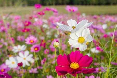 Cosmos bipinnatus feel refreshed, relaxed When it comes to natural touch.
