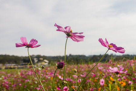 Pink Cosmos bipinnatus and blue sky background. Stock Photo
