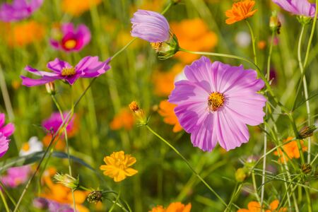 Cosmos bipinnatus colors beautiful fresh in the field cosmos as background.