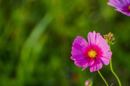 Cosmos bipinnatus for vivid color bloom in meadows cosmos as a background. Stock Photo