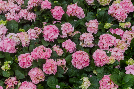 Hydrangea macrophylla (Thunb.) Ser timber that originated from Japan. A small shrub The ramification is a broad brush. The size of the hydrangeas that up to 1 meter.