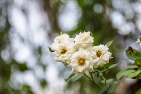 White Rose, also named Rosa hybrida is used in science. Bloom beautiful 版權商用圖片