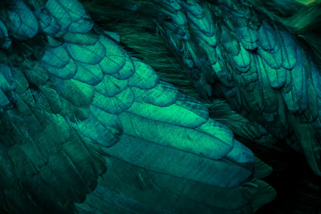 Abstract of Chicken feather turquoise color as the background.