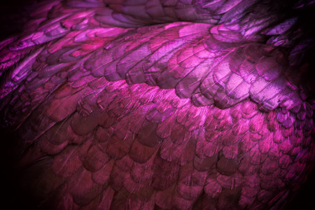 Abstract of Chicken feather pink color as the background. Zdjęcie Seryjne