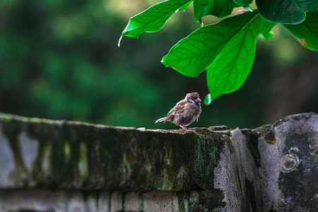 In the midst of nature It will be easy to see sparrows. It is a resident bird.